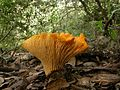Cantharellus californicus 81770.jpg