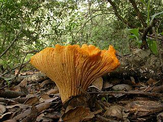 <i>Cantharellus californicus</i> species of fungus