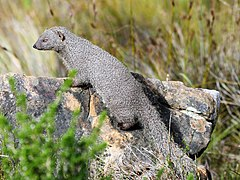 Cape Gray Mongoose on Lion's Head (29813836777).jpg