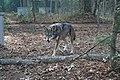 Captive male red wolf at Sandy Ridge (6350488197).jpg