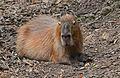 Capybara, Hydrochoerus hydrochaeris.jpg