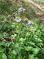 Cardamine raphanifolia1.jpg