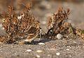 Carduelis flavirostris vogelartinfo chris romeiks X7L0781.jpg
