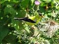 Carduelis tristis -eating thistle seeds-8.jpg