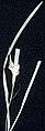 Carex abscondita NRCS-1.jpg