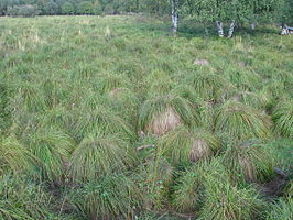 Carex cespitosa area.JPG