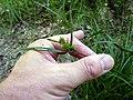 Carex demissa inflorescens (7).jpg
