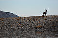 Caribou on the Colville River. North Slope, Alaska.jpg