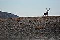 Caribou on the Colville River. North Slope, Alaska.jpg
