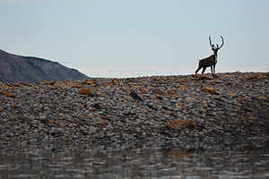Colville River (Alaska) - A caribou standing on the banks of the Colville River. Thousands of caribou live on or around the river during the summer months, and provide a traditional source of subsistence food for the region's Iñupiat communities.