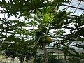 Carica papaya (DITSL).JPG
