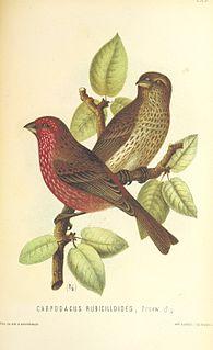 Streaked rosefinch species of bird