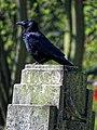 Carrion crow Corvus corone, Tottenham Cemetery, Haringey, London, England 3.jpg