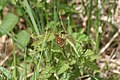Carterocephalus palaemon - img 25500.jpg