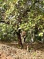 Cashew tree (483016381).jpg