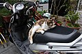 Cat Lying on Motorcycle Seat in Evening 20150316.jpg
