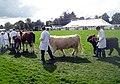 Cattle, 109th Poynton Show - geograph.org.uk - 1466397.jpg