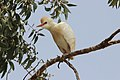 Cattle Egret in Palestine.JPG