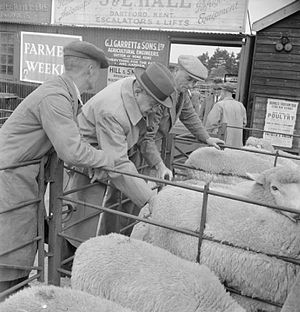 Stunning - Sheep at Maidstone cattle market, Kent, 1944