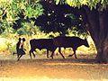 Cattle herding.jpg