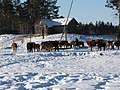 Cattle in snow - panoramio.jpg