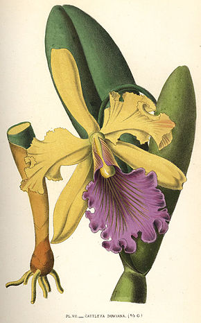 Description de l'image Cattleya dowiana 1880.jpg.