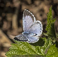 Celastrina argiolus (open) in the Aamsveen, The Netherlands.jpg
