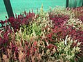 Celosia wool flower from Lalbagh flower show Aug 2013 8466.JPG