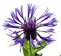 Centaurea montana20090702 134.jpg