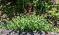 Centranthus ruber in Aveyron (2).jpg