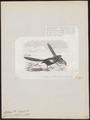Centropus goliath - 1872 - Print - Iconographia Zoologica - Special Collections University of Amsterdam - UBA01 IZ18800173.tif
