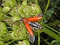 Cerambycidae - Stictoleptura rubra (female) .JPG