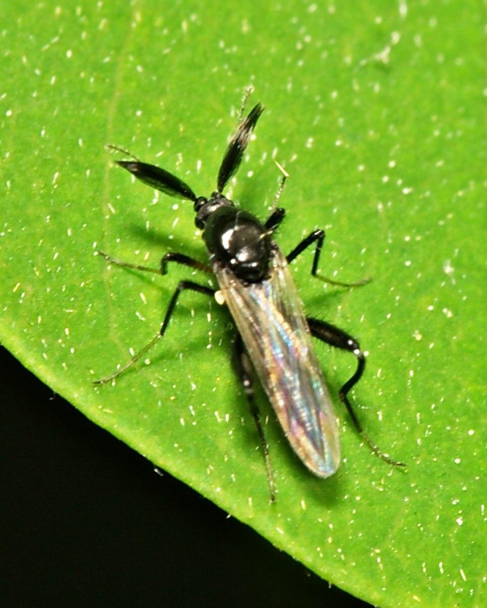 Ceratopogonidae.male