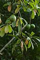 Cerbera odollum - IMG 1463.jpg