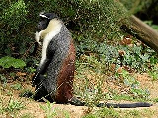 Roloway monkey Species of Old World monkey