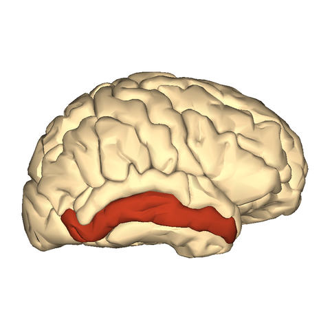file:cerebrum - middle temporal gyrus - lateral - wikimedia, Human Body