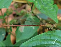 Ceriagrion olivaceum male.jpg