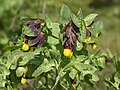 Cerinthe major (plant).jpg