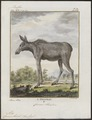 Cervus alces - 1700-1880 - Print - Iconographia Zoologica - Special Collections University of Amsterdam - UBA01 IZ21500100.tif