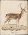 Cervus dama - 1818-1842 - Print - Iconographia Zoologica - Special Collections University of Amsterdam - UBA01 IZ21500144.tif