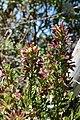 Cestrum buxifolium (Solanaceae) (45872711252).jpg
