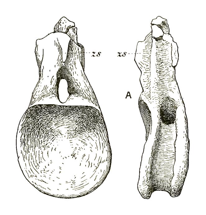 Cetiosauriscus dorsal