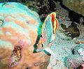 Chaetodon paucifasciatus, mar Rojo.jpg