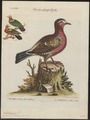 Chalcophaps indica - 1700-1880 - Print - Iconographia Zoologica - Special Collections University of Amsterdam - UBA01 IZ15600261.tif