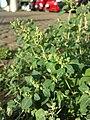 Chenopodium vulvaria sl18.jpg