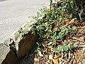 Chenopodium vulvaria sl88.jpg