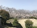 Cherry blossoms in Sasayama Park 17.jpg