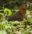 Chestnut wood quail (Odontophorus hyperythrus) (cropped).jpg