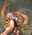 Chiapas-freshwater-crab-view1.jpg
