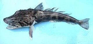 Antarctic fishes